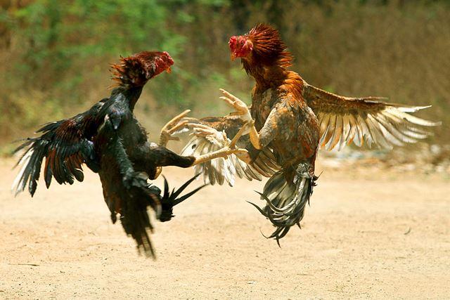 cock_fight.jpg